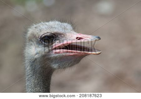 The ostrich bird head with big beak