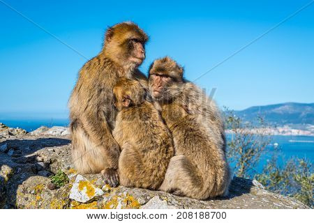 Barbary macaques family nestled to each other and thinking about the future on the Rock of Gibraltar