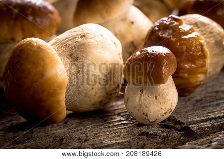 Raw porcini mushrooms on rustic background .