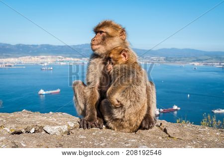 Sitting Barbary macaques on the Rock of Gibraltar