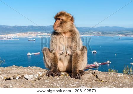 Sitting Barbary macaque on the Rock of Gibraltar