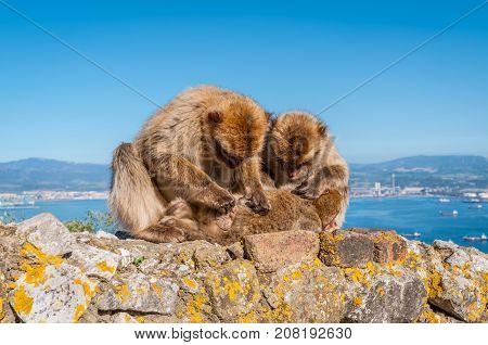 Barbary macaques on the Rock of Gibraltar