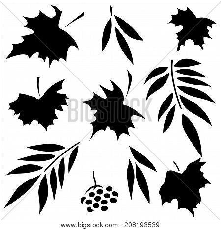 Set of silhouettes of leaves. Maple, ash and mountain ash, wild grapes. Isolated on white background.