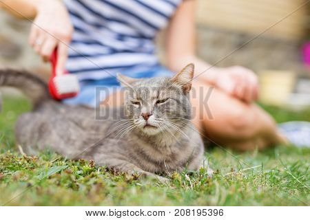 Tabby cat lying on the grass in the garden and enjoying while being brushed and combed by its owner