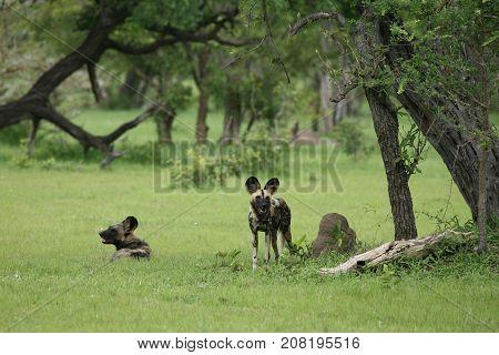 Wild Dog Dangerous Mammal Animal Africa Savannah Kenya