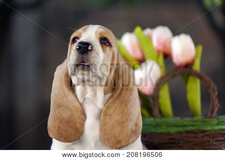 Sweet  Basset Hound Puppy