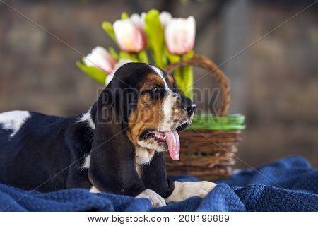 Sweet Little Gentle Puppy Basset Hound With Sad Eyes