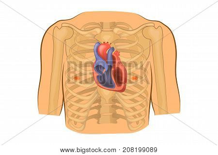 vector illustration of a heart in the chest