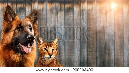 Cat and dog together, chausie kitten, abyssinian cat, german shepherd look at right, on wooden background.