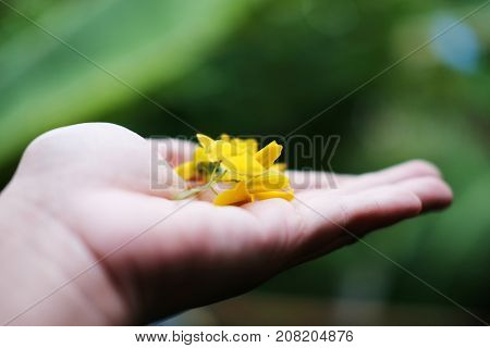 Sesbania on woman hand in nature green background