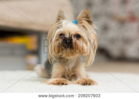 Yorkshire Terrier with a short haircut lies on the carpet