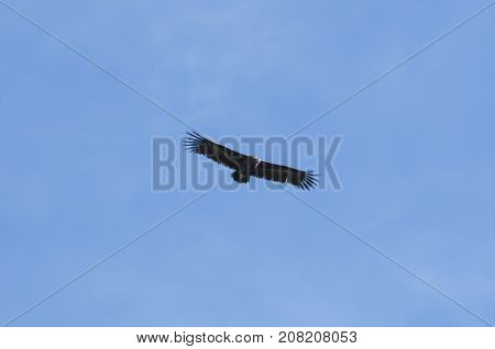 Cinereous Vulture Aegypius monachus in flight. It is a large raptorial bird that is distributed through much of Eurasia. Photo taken in Colmenar Viejo Madrid Spain