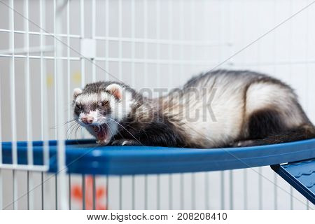 A black and white ferret lies in its cage on a platy shelf.