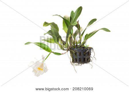 Cattleya & allied genera in flower pot isolated on white background