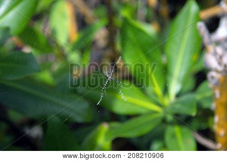 Argiope argentata (Silver Garden Spider) close up while hanging on the spiderweb. Green leaves background