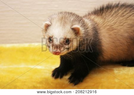 Cute ferret sitting on the yellow blanket close-up portrait