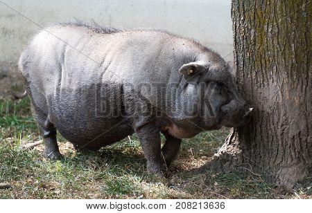Big Pig On A Country Safari Farm