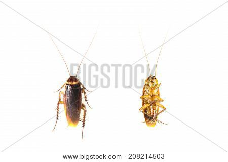 Top view a dead cockroaches isolated on white background.