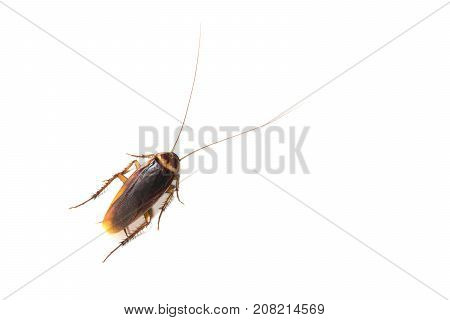Top view a dead cockroach isolated on white background.
