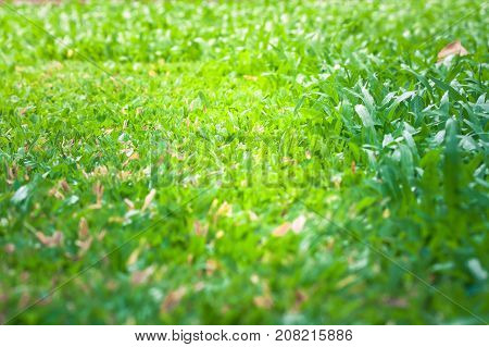 Close up green grass lawn background after cutting the grass with lawn mower. (Selective Focus)
