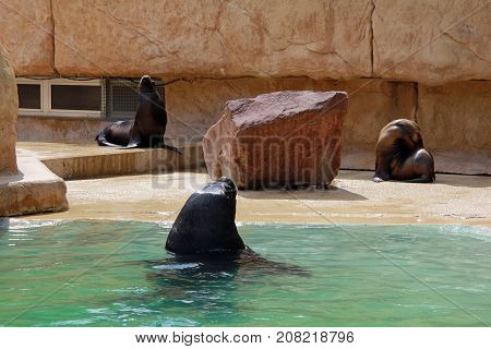 Group of black and brown seals sunbathing and/or swimming at the zoo on a sunny day.