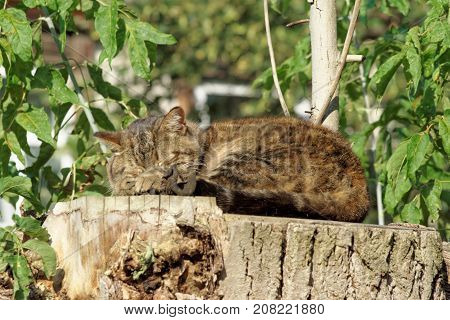 The Cat Sleeps On A High Hemp Of A Large Sawn Wood.