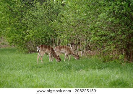 Several roe deer in a meadow in natural environment. Wildlife in europe.