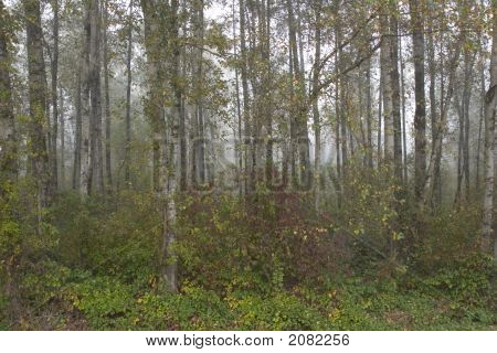 Birch Trees In Fall Color