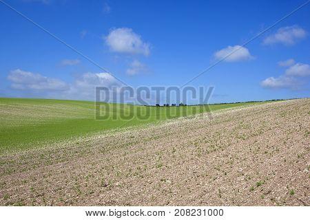Summer Pea Crop