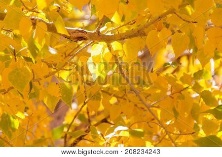 Close-up of Bright golden aspen leaves illuminated by the sun in the early autumn.