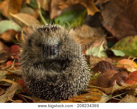 Young hedgehog male curled up in leaves
