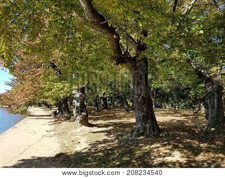 Washington Dc Cherry Trees In Autumn