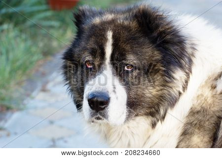 Caucasian Sheepdog In Autumn Time.adult Caucasian Shepherd Dog.