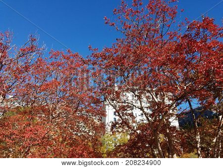 Autumn Brightly Red Foliage
