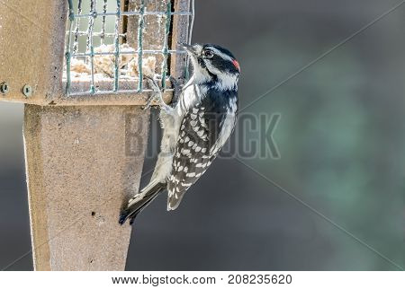 A Downey woodpecker at a feeder having lunch,