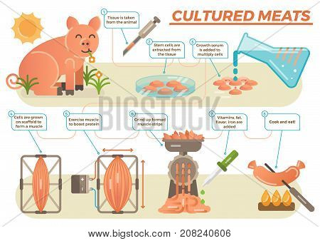 Cultured meat concept in illustrated steps showing process from taking real animal tissue, multiplying stem cells with adding serum, exercising muscle to boost protein and adding vitamins, fat etc.