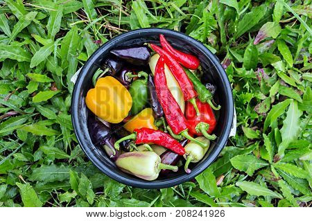 Harvest of Red, green and yellow of sweet bell peppers in a bucket. A bucket of peppers is standing on the bright green grass. View from the top