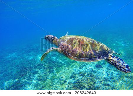 Green sea turtle in seawater. Sea tortoise underwater photo. Sea animal in coral reef. Coral reef ecosystem with plants and animals. Tropical island vacation activity. Snorkeling in tropic seashore