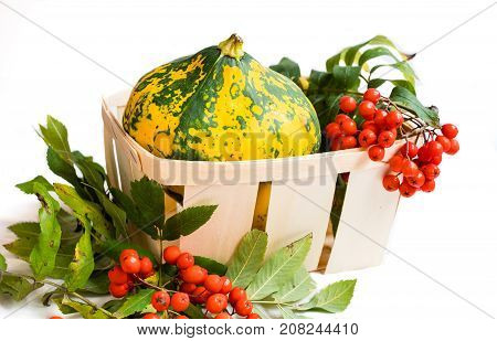 Beautiful colorful with green and yellow spots patty pan squash and red sorbus berries and leaves in the wooden wicker basket isolated on white background. Autumn harvest.