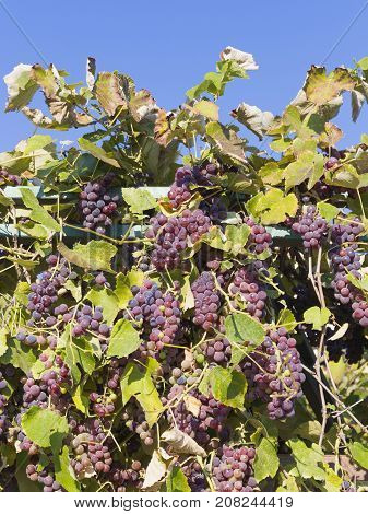 Beautiful tasty grapes grow on a vine outdoors against a blue sky on a sunny day