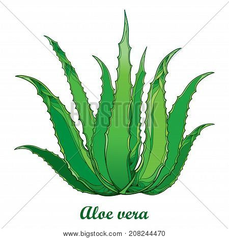 Vector drawing of outline Aloe vera or true Aloe plant with fleshy green leaf isolated on white background. Alternative medicinal and cosmetic plant in contour for floral summer design.