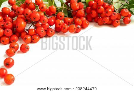 Rowan Sorbus aucuparia berries and leaves isolated on white background. Soft selective focus, close up. Frame border.