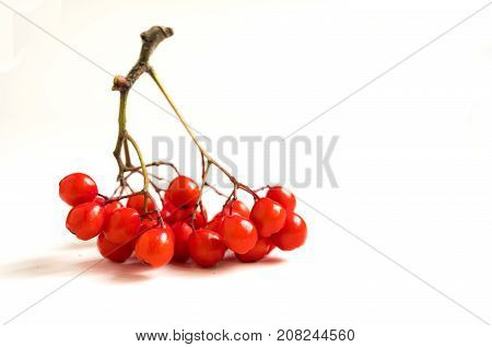 Rowan Sorbus aucuparia berries isolated on white background. Soft selective focus, close up.