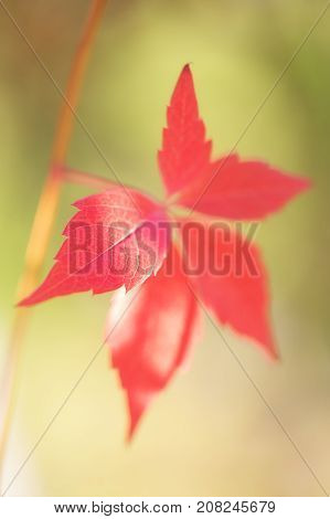 Single red autumn leaf. The red leaf of grapes lit with the sun on an blured green background. A close up selective focus on a leaf fragment.