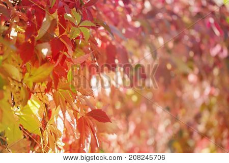 Background from autumn leaves. The multicolored leaves of grapes lit with the sun. Close up selective focus. The background is intentionally blured at the right.
