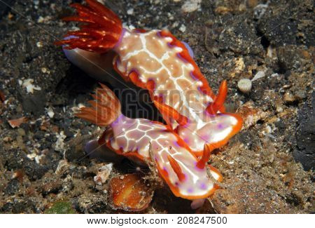 Hypselodoris Iacula Nudibranch Couple. Lembeh Strait Indonesia