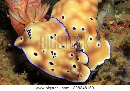 Risbecia Tryoni Nudibranch Couple. Lembeh Strait Indonesia