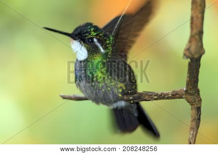 White-throated Mountain-gem (Lampornis castaneoventris) on a Branch about to Take Off. Boquete Panama