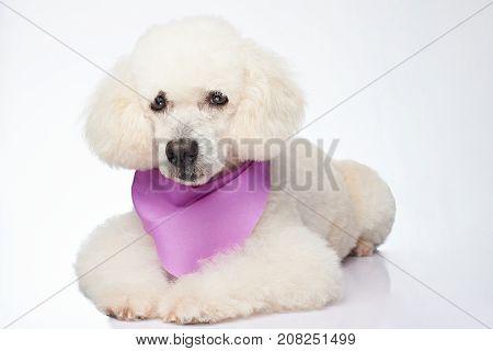 Isolated white poodle dog. Cute groomed poodle dog