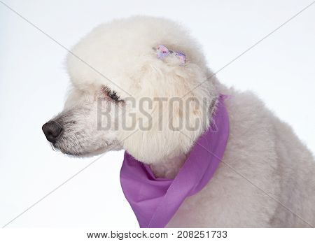 Profile portrait of groomed poodle dog isolated